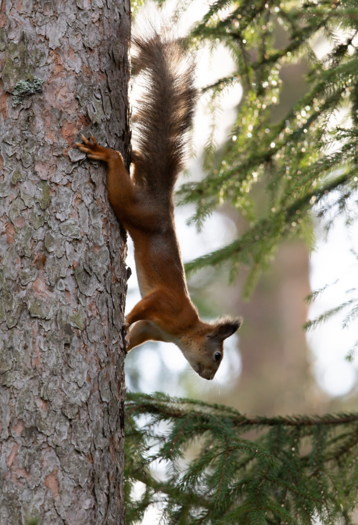 Orav, Red Squirrel