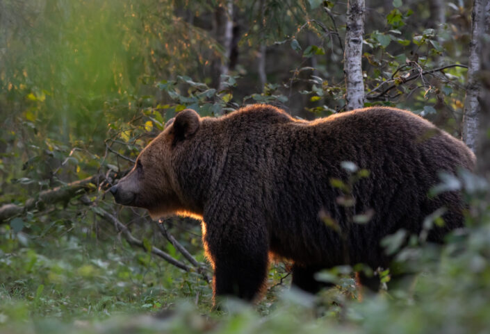 Pruunkaru karu Brown Bear bear watching in estonia karuvaatlus