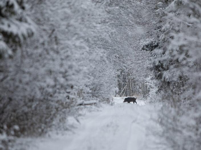 Metssiga wild boar sus scrofa In Estonia