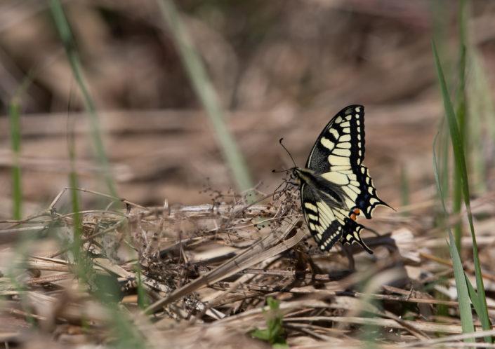 Pääsusaba Swallowtail butterfly