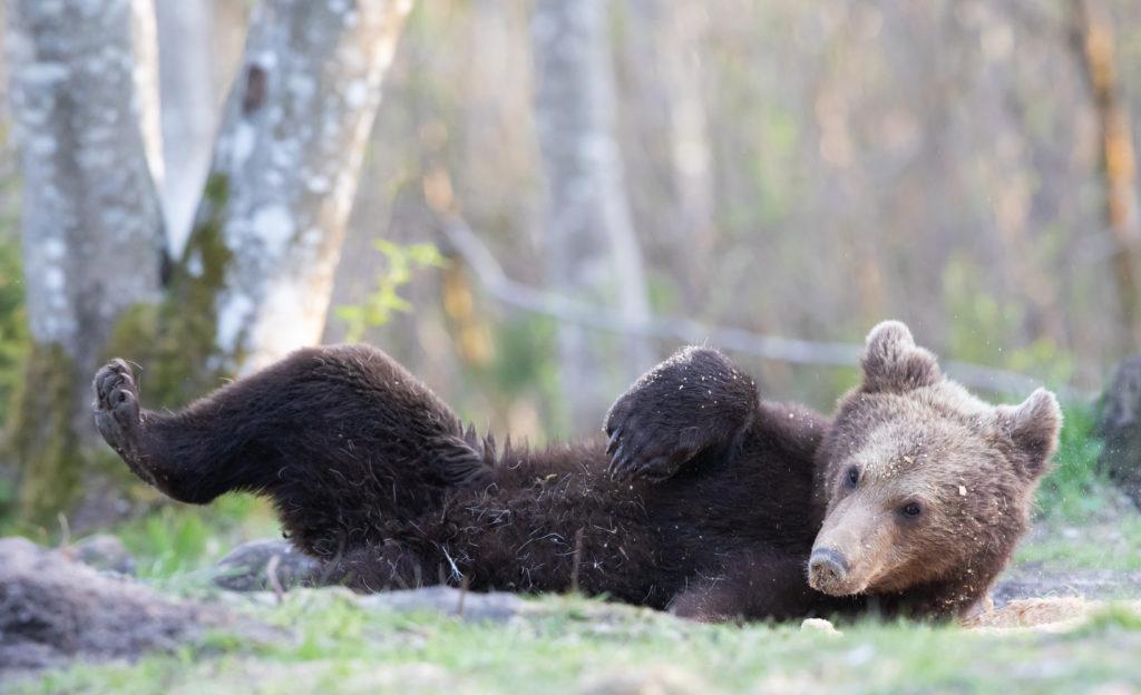 Karu poeg püherab Brown Bear cub